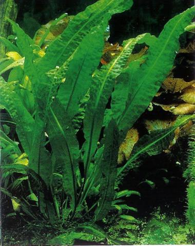 Картинки по запросу Aponogeton distachyos в аквариуме